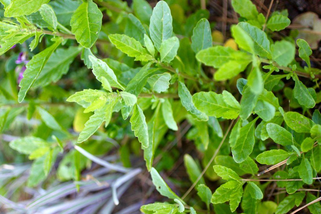 Epazote in garden