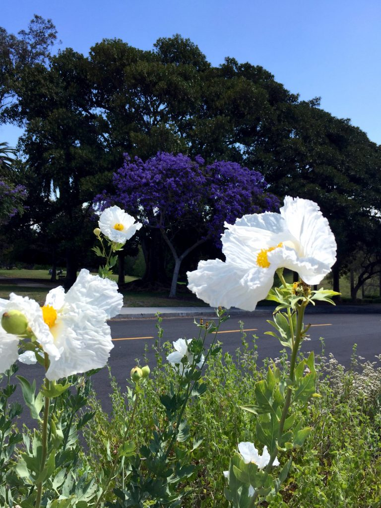 Matilija Poppy and Jacaranda Tree